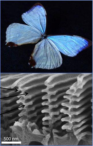 La mariposa morpho y el color azul